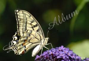Papillons 2012 01