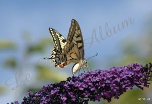 Papillons 2012 02