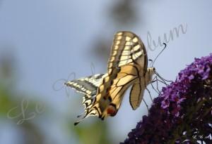 Papillons 2012 03