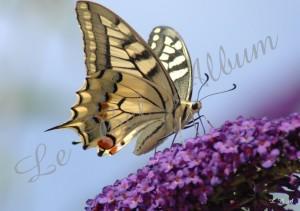 Papillons 2012 04