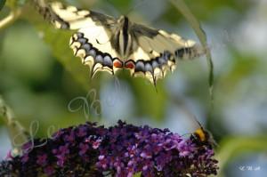 Papillons 2012 05