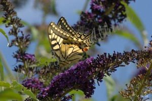 Papillons 2012 06