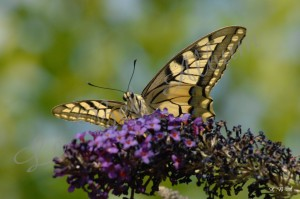 Papillons 2012 07