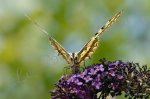 Papillons 2012 08